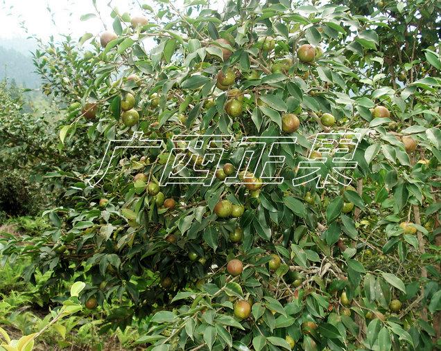 软枝油茶一年四季都可以修剪,一般剪去干枯枝,衰老枝,下脚枝,病虫枝