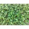 低价优质草莓苗,红颜草莓苗,法拉第草莓苗,泰安香香苗圃