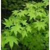 5-12公分鸡爪槭,青枫,五角枫,元宝枫,三角枫