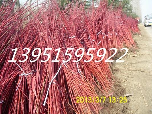 植物平面图例手绘石楠
