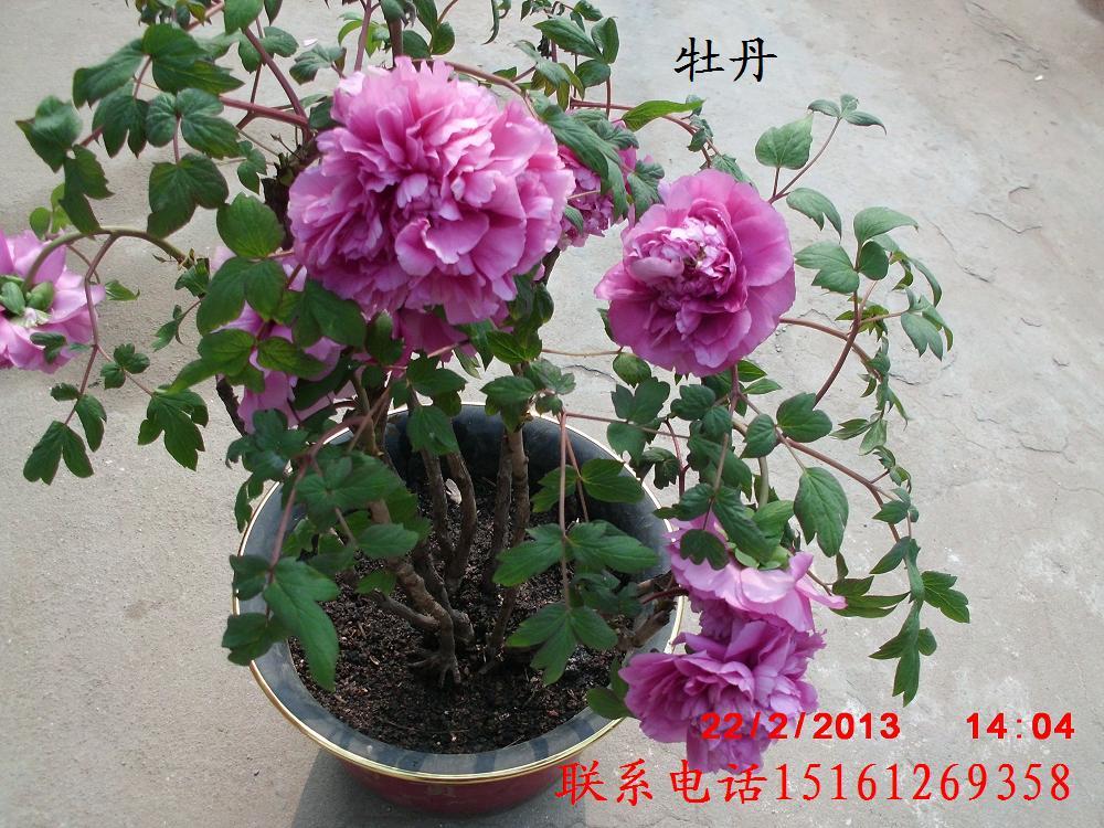 中国传统十大名花图片 花卉 苗木图库