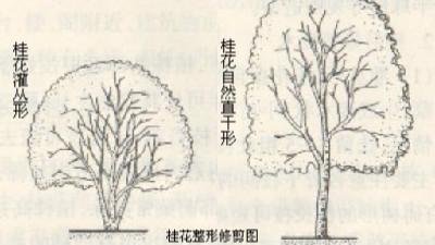 桂花树的整形修剪技术