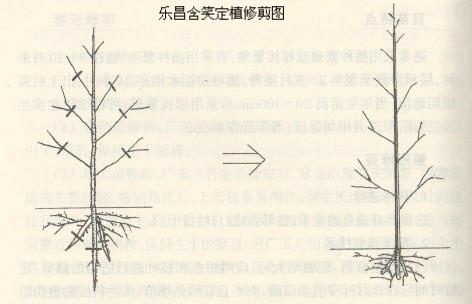 乐昌含笑树