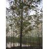 元誉苗圃供应工程需要各种绿化苗木,马灌木,8-15公分