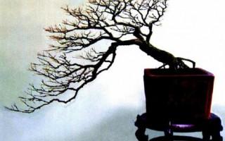 三角楓盆景圖片欣賞