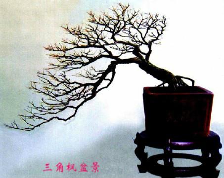 上图盆景为悬崖式,统一为斜枝,枝干形态相似,但树枝的生长方向逐渐图片