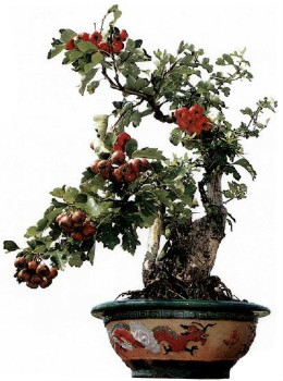 徐州果树盆景图片欣赏
