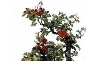 徐州果樹盆景圖片欣賞