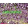 紫葉炸醬草紅花醡漿草蔥蘭草麥冬草鳶尾玉簪金娃娃萱草等質優價廉