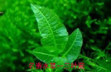 三叶蕨品种介绍与习性