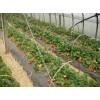 草莓苗、草莓苗品种、山东草莓苗