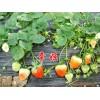 草莓苗、红颜草莓苗、红颜草莓苗品种