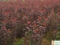 红叶樱花成品苗
