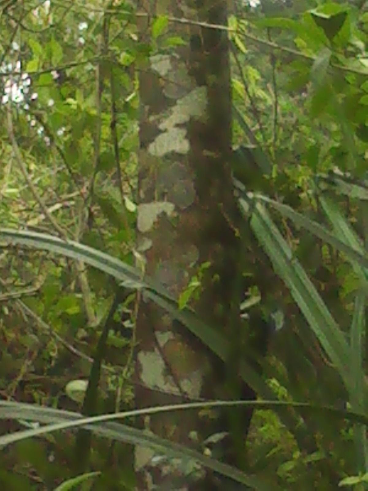 海南沉香树价格|乔灌木|苗木|苗木报价|597苗木网