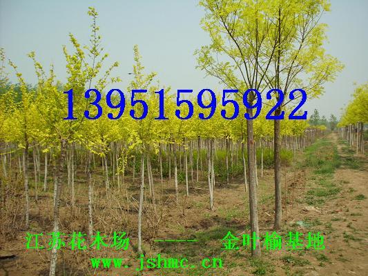 砍尽看家杨树种植国槐白蜡苦楝桑树金叶榆树黄金槐红叶桃紫叶李