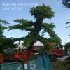 15公分造型榆树哪里货多?万达苗圃榆树价格实惠量大