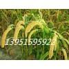 五谷杂粮豌豆燕麦大麦玉麦苦荞麦小谷子小苕子无芒雀麦种子价格