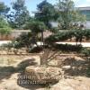 13公分造型罗汉松近期报价/哪里的罗汉松树形好价格便宜