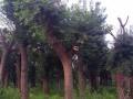 30公分皂角樹圖片