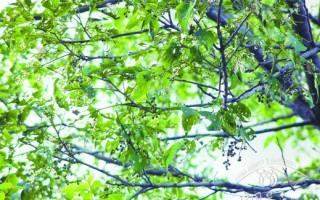 重阳木锦斑蛾的防治方法