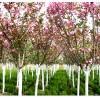 10公分樱花树哪里最好,5公分樱花树,泰安泽雨苗圃