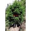 【漳州、泉州、厦门、龙岩】出售精品罗汉松树(胸径16公分)