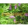 美国籽粒苋菊苣草木犀紫花苜蓿三叶草鲁梅克斯的种植方法差不多