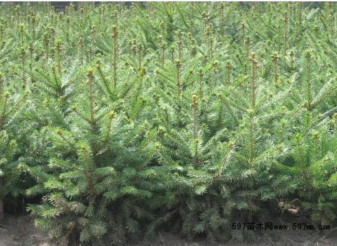 云杉价格新 乔灌木 绿化苗木 供应信息 597苗木网