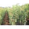 大量供应1-3米高五角枫苗