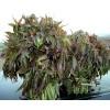 泰山红油香椿苗价格,入棚用香椿苗
