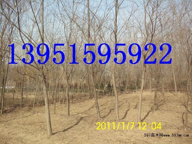 树形美观,在南方树叶基本常绿,强耐盐碱,耐水湿,抗风性强,病虫害少