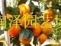 山东柿子苗