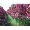园林新贵--北美海棠,北美海棠苗