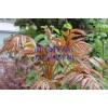 泰安香椿树苗,泰安香椿树苗价格