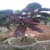 古桩造型红花继木桩盆景价格 造型红花继木桩的产地