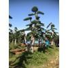 20-25cm造型骨架榆树价格15-20公分造型金叶榆树价格