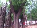 35公分皂角树