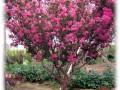 紫薇树价格  紫薇价格