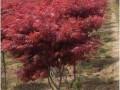 日本红枫价格 红枫价格