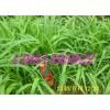耐盐碱牧草冬牧70黑麦草木犀紫花苜蓿草木樨毛苕子沙打旺籽粒苋