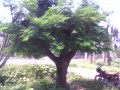 北京合欢树