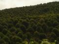 10-15公分桂花树