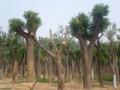 2013年秋季皂角树