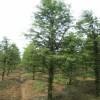 水杉,水杉树苗木