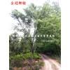 安徽合肥肥西供應銷售|榔榆|黃連木|烏桕|山杏|國槐|李樹|