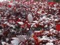 红宝石海棠价格