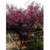 1-6公分紫葉矮櫻