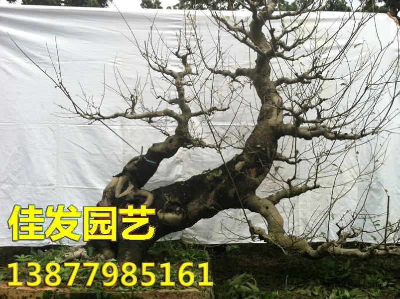 朴树盆景 造型景观 绿化苗木 供应信息 597苗木网
