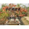 冬红果、冬红果海棠、冬红果苗