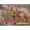 【2013香椿苗】价格,泰安香椿苗价格-山东香椿苗